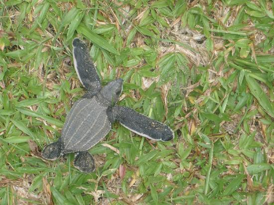 Turtle Beach by Rex Resorts: This little guy wasn't suppose to be here but he was