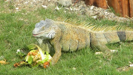 Fantasy Island Beach Resort: Iguana