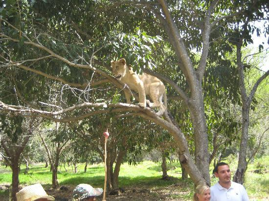 Shandrani Beachcomber Resort & Spa All Inclusive: walking with the lions