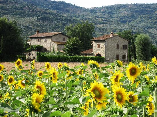 ‪‪Agriturismo I Pagliai‬: Sunflowers around I Pagliai‬