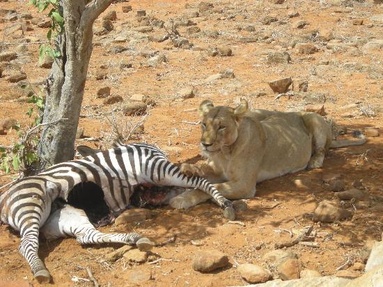 Donamasai Day Tours: ...leonessa con la sua preda...