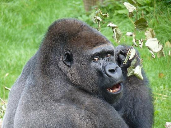 Trinity, UK: Badongo, the alpha male gorilla