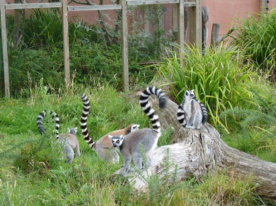Jersey Zoo : Ring-tailed lemurs
