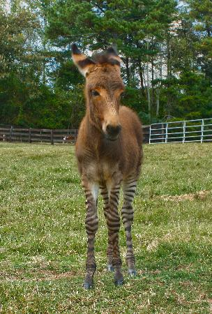Chestatee Wildlife Preserve & Zoo : New Baby Zedonk