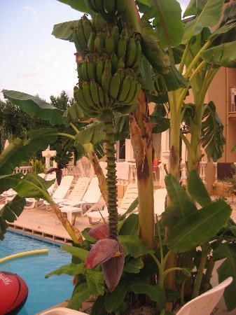 Ozcem Apart Hotel: Banana tree