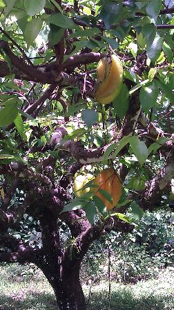 Alby Lodge: Star fruit trees - ripe for the picking!