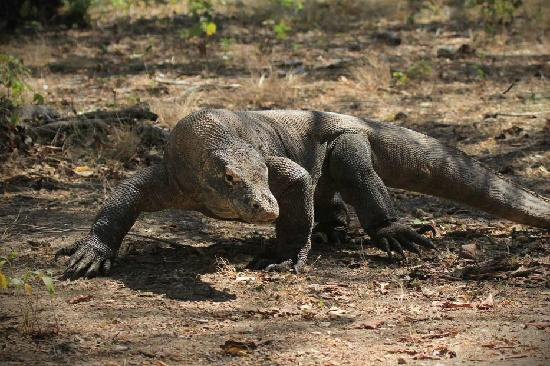Komodo National Park : Komodo dragon