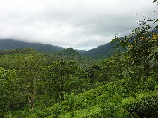 Royal River Resort: Tea plantation walk near hotel