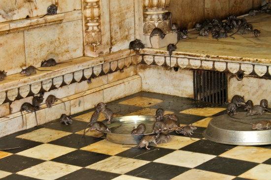 Deshnoke, Indien: topi