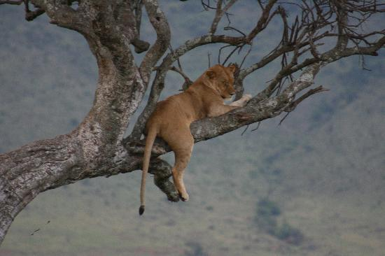 ‪كيليما كامب: A lazy lioness in tree‬