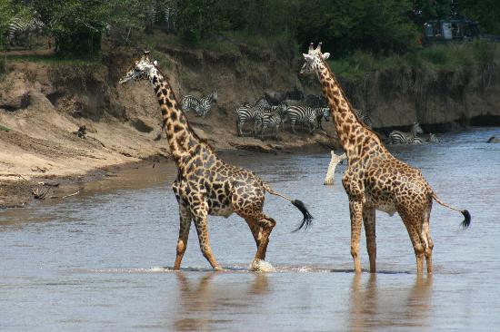 Kilima Camp: Giraffes take a walk on the wildside
