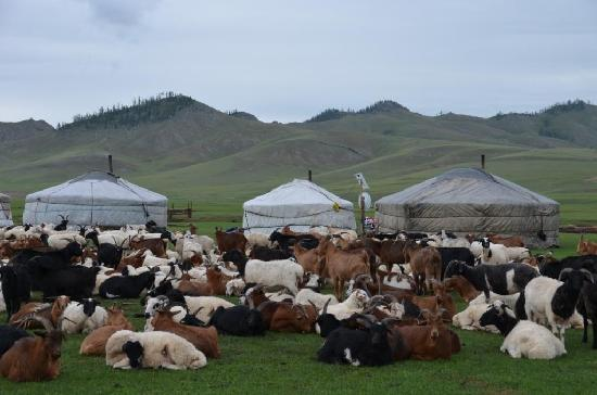 "Mongolia: Sheep & goats sleep by gers at night for their protection. You hear ""baa"" & ""maa"" all night."