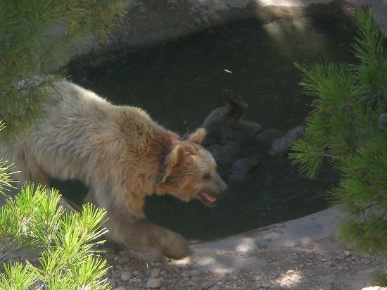 Sendaviva: osos, uno de ellos bañándose