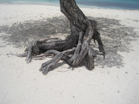 Eagle Beach: Roots of a Divi Tree