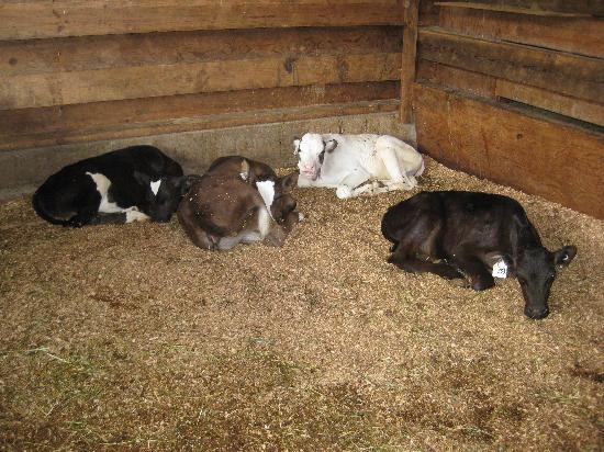 Little Qualicum Cheeseworks : Where the little ones sleep.
