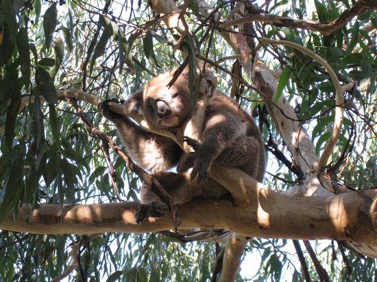 Kennett River, Australia: Kennet River: Koala in the wild