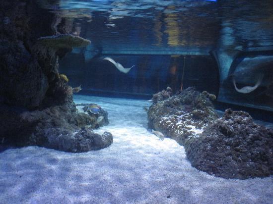 Lido di Jesolo Sea Life Aquarium : Una delle vasche con razze