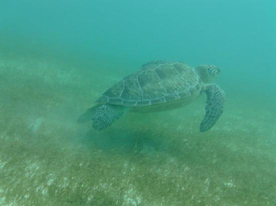 Grand Palladium Colonial Resort & Spa: Snorkelling with the Turtles