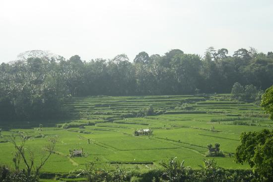 Bambu Indah: The rice fields