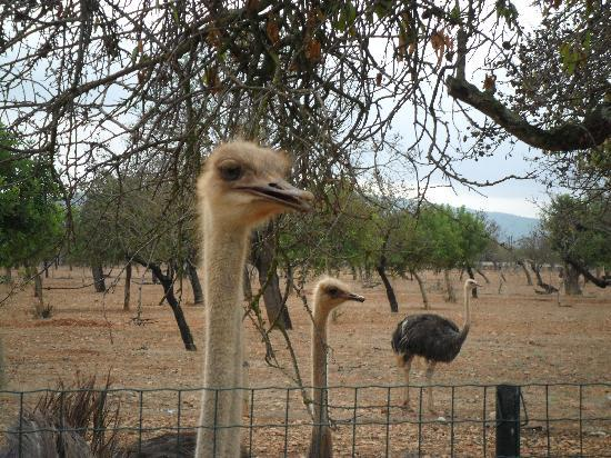 Agroturismo Es Quatre Cantons : One of several ostrich on the farm.