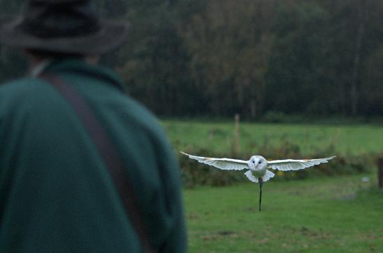 Cheshire Falconry: Barn owl in flight