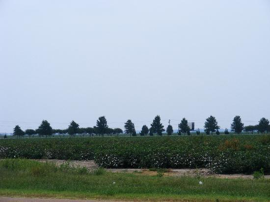 Days Inn Tunica Resorts: Cotton Field - About 6 Weeks From Full Bloom