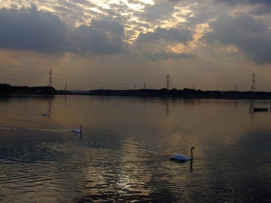 Kashiwa, Japan: 公園岬から夕焼けの手賀沼とハクチョウ