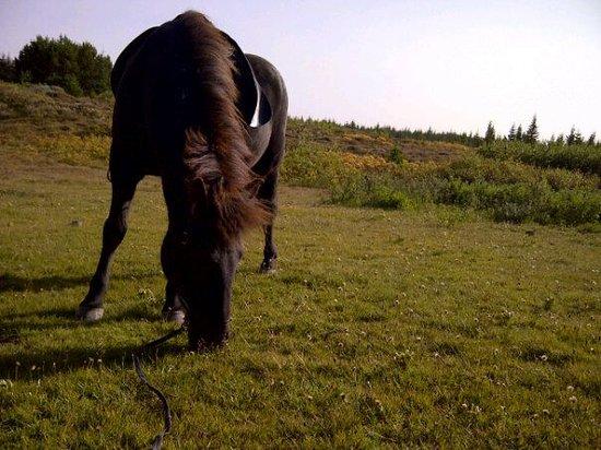 Viking Horses: sieben