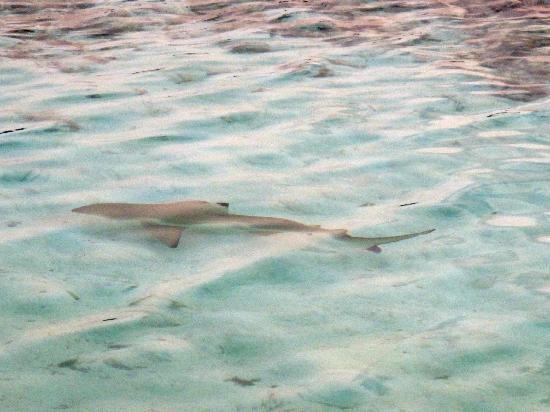 บารอส มัลดีฟส์: shark