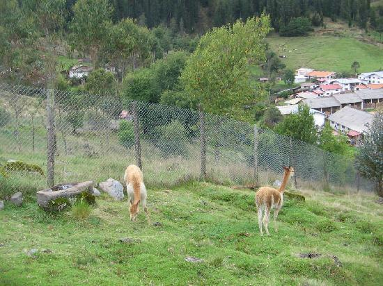 Granja Porcon: hay vicuñas y  llamas pastando libremente