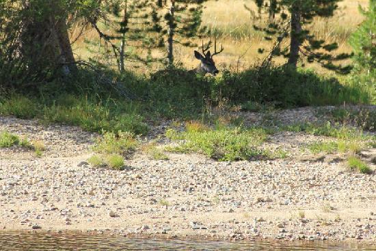 Tuolumne Meadows: Buck taking a coffee break in the treeline.