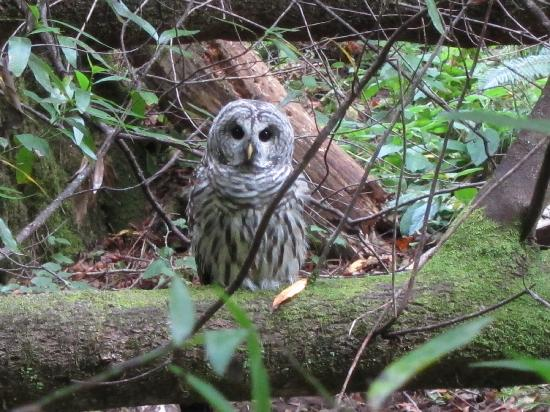 Muir Woods National Monument: Owl in Muir Woods