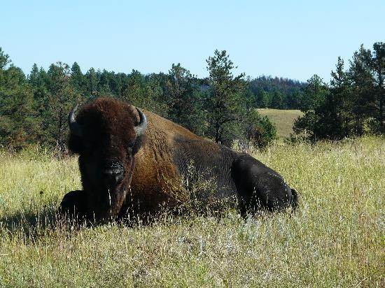 Custer State Park: Bachlor buffalo bull