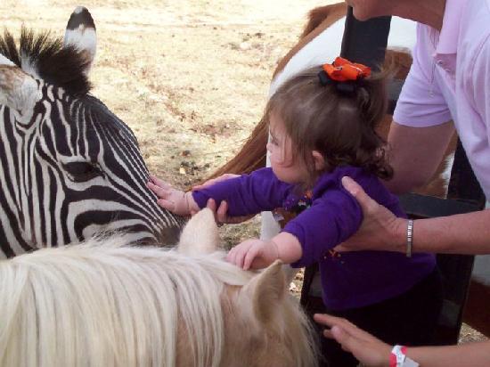 Shreveport, Luizjana: Petting a zebra