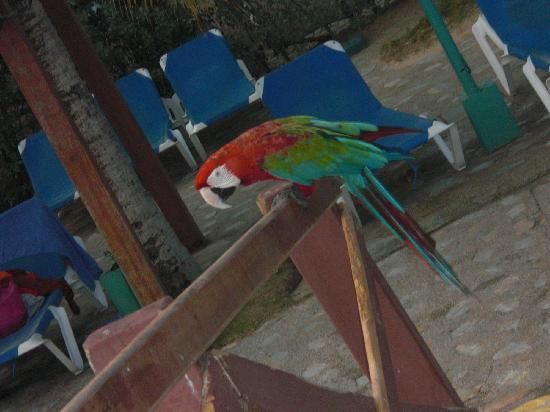 Costa Caribe Beach Hotel & Resort: guacamaya