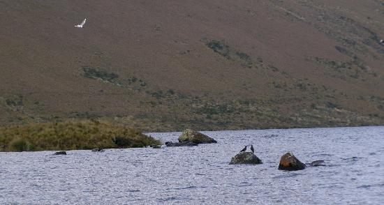 Lakes of Ozogoche (Lagunas de Ozogoche): Ozogoche, gaviotas a 3800 msnm