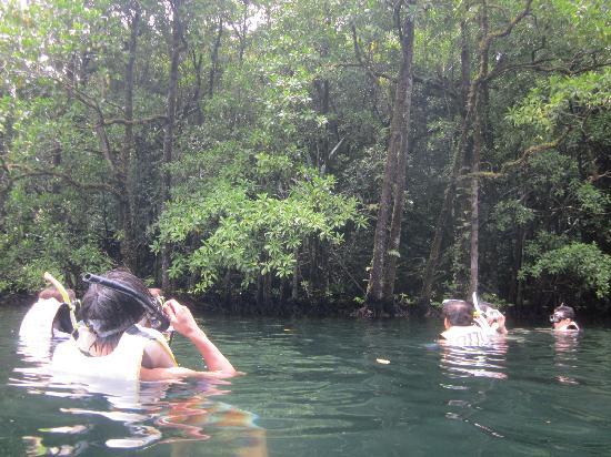 Jellyfish Lake: マングローブ