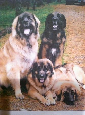 Hummingbird Haven: these are the owners Leonberger dogs.