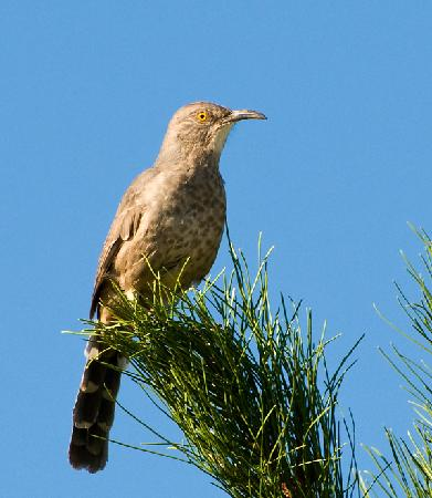 Quailway Cottage : Curve-billed Thrasher