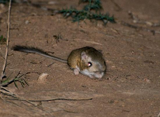 Quailway Cottage : Kangaroo Rat