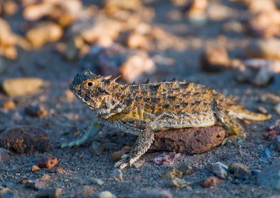 Quailway Cottage : Texas Horned Lizard
