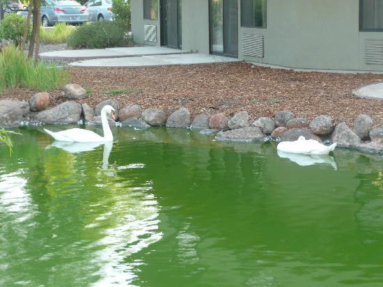 Gaia Hotel & Spa Redding, an Ascend Hotel Collection Member: Swans in the pond at Gaia