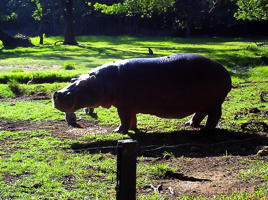 Haller Park: A hippo tries to beat the monkeys to the food