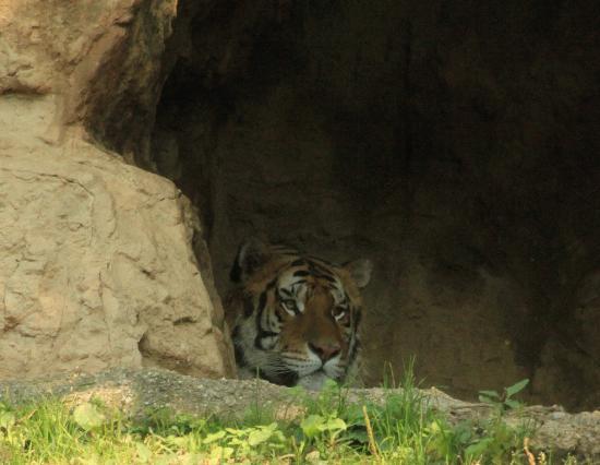 Valbrembo, Italie : Tigre