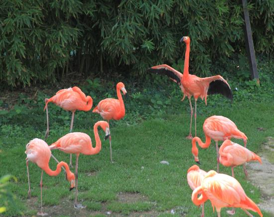Valbrembo, Italie : Fenicotteri rosa