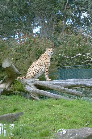 Auckland Zoo: Cheetah