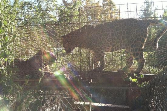 Exotic Feline Rescue Center: up close and personal