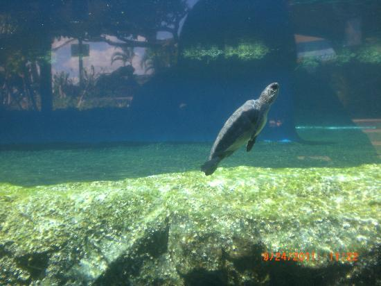 Maui Ocean Center: Turtle