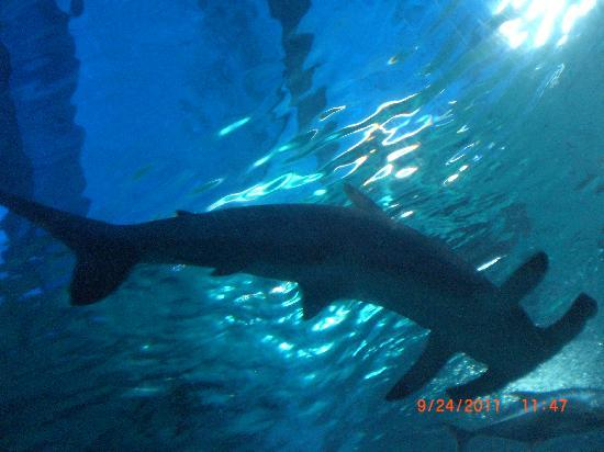 Maui Ocean Center: Shark