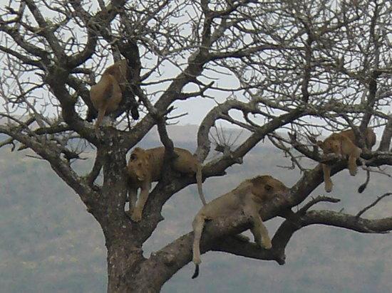 Tim Brown Tours - Durban Safari Tours: Lions Sleeping in Tree